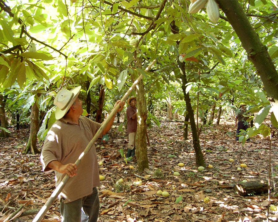 Schokocards Schokolade fairtrade Kakao Anbau